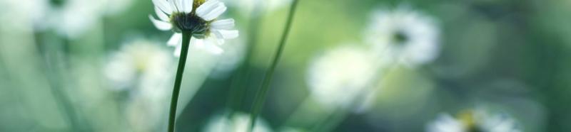 Margeriten-Feld, Blüten gezeigt von unten